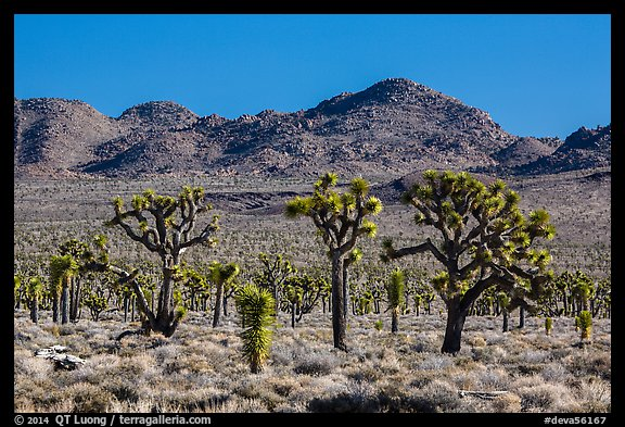 Joshua tree forest, Lee Flat. Death Valley National Park (color)