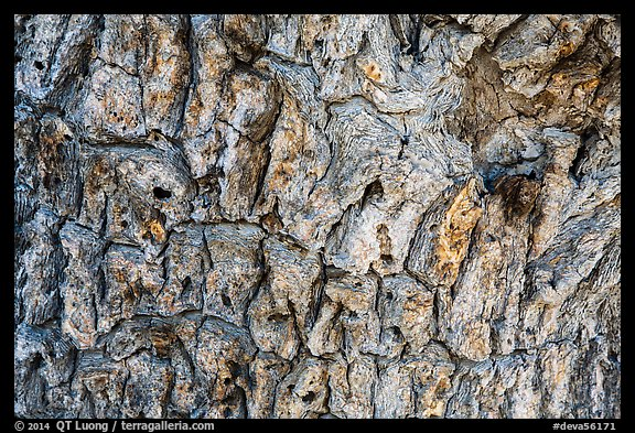 Close-up of Joshua tree bark. Death Valley National Park (color)