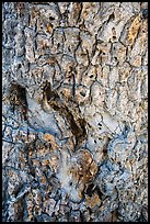 Joshua tree bark close-up. Death Valley National Park ( color)