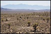 Joshua trees on Lee Flat and Panamint Range. Death Valley National Park ( color)