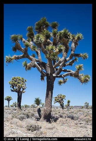 Joshua trees. Death Valley National Park (color)