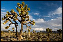 Joshua Tree groves at Lee Flat. Death Valley National Park ( color)