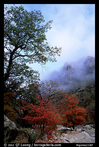 Autumn colors, wash, and clearing clouds, Pine Spring Canyon. Guadalupe Mountains National Park (color)