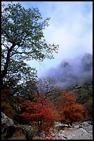Autumn colors, wash, and clearing clouds, Pine Spring Canyon. Guadalupe Mountains National Park, Texas, USA.