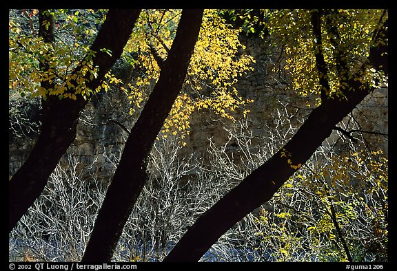 Dark trunks and autumn foliage near Smith Springs. Guadalupe Mountains National Park (color)