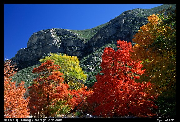 Trees in autumn foliage and cliffs,McKittrick Canyon. Guadalupe Mountains National Park (color)