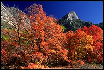 Autumn colors and cliffs in McKittrick Canyon. Guadalupe Mountains National Park, Texas, USA.