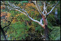 Texas Madrone Tree and autumn color, Pine Canyon. Guadalupe Mountains National Park, Texas, USA.