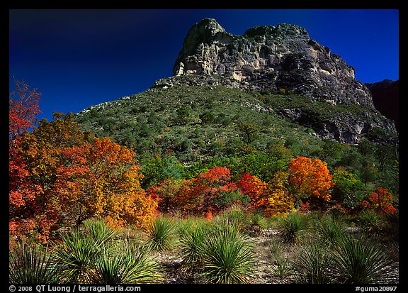 Trees in fall foliage and peak in McKitterick Canyon. Guadalupe Mountains National Park (color)