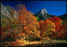 Fall foliage and cliffs, McKittrick Canyon. Guadalupe Mountains National Park, Texas, USA. (color)