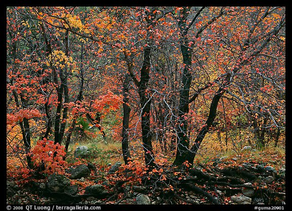 Trees in Autumn foliage, Pine Spring Canyon. Guadalupe Mountains National Park (color)
