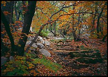 Creek and fall colors, Smith Springs. Guadalupe Mountains National Park, Texas, USA.