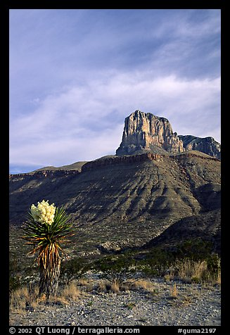 Yucca and El Capitan. Guadalupe Mountains National Park (color)