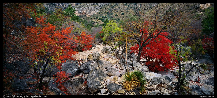 Dry desert wash with trees in bright fall foliage. Guadalupe Mountains National Park (color)
