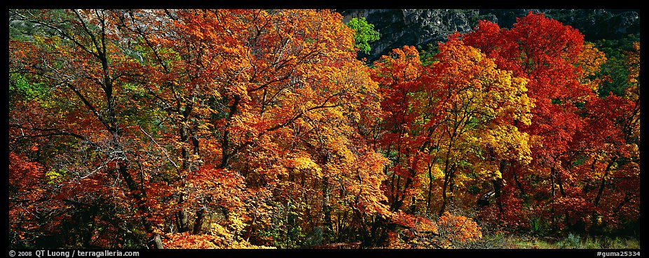 Trees in bright yellow, orange, and red fall foliage. Guadalupe Mountains National Park (color)