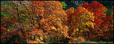 Trees in bright yellow, orange, and red fall foliage. Guadalupe Mountains National Park (Panoramic color)