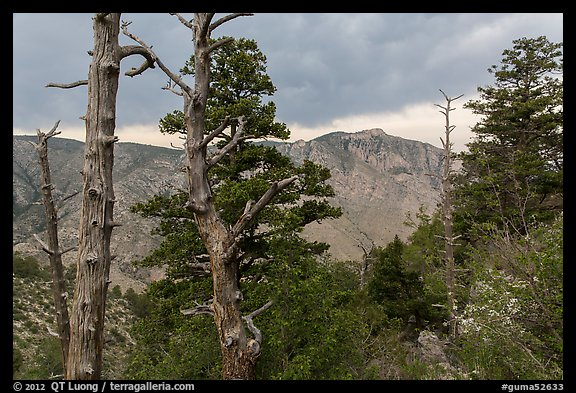 Pine trees, Pine Springs Canyon, cloudy weather. Guadalupe Mountains National Park (color)