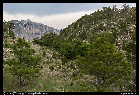 Coniferous forest, approaching storm. Guadalupe Mountains National Park (color)