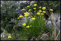 Close up of cluster of yellow flowers. Guadalupe Mountains National Park ( color)