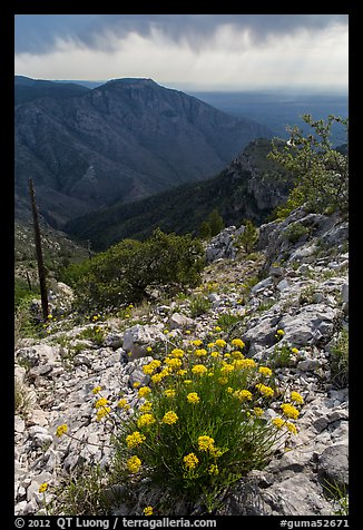 Flowers, Hunter Peak, Pine Spring Canyon. Guadalupe Mountains National Park (color)
