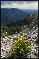 Flowers, Hunter Peak, Pine Spring Canyon. Guadalupe Mountains National Park ( color)