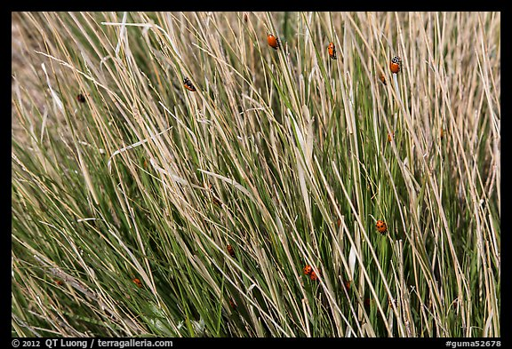 Ladybugs in grass. Guadalupe Mountains National Park (color)