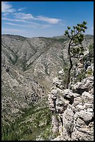 Tree growing at edge of cliff. Guadalupe Mountains National Park ( color)