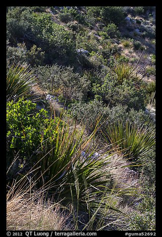 Desert shrubs on slope. Guadalupe Mountains National Park (color)