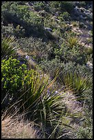 Desert shrubs on slope. Guadalupe Mountains National Park ( color)
