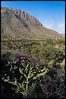 Cactus with bloom, Hunter Peak. Guadalupe Mountains National Park, Texas, USA. (color)