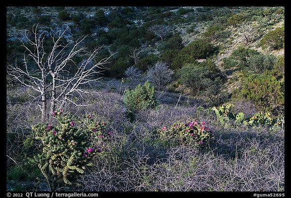 Cactus, bare thorny shrubs. Guadalupe Mountains National Park (color)