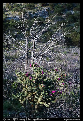 Cactus in bloom and bare tree. Guadalupe Mountains National Park (color)