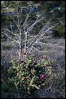 Cactus in bloom and bare tree. Guadalupe Mountains National Park, Texas, USA. (color)