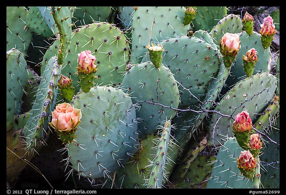 Close up of cactus and blooms. Guadalupe Mountains National Park (color)