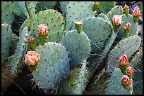 Close up of cactus and blooms. Guadalupe Mountains National Park ( color)