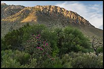 Cactus, trees, and Hunter Peak. Guadalupe Mountains National Park ( color)