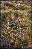 Cactus in bloom and Chihuahan desert plants. Guadalupe Mountains National Park, Texas, USA. (color)