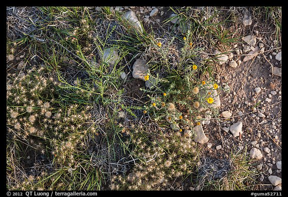 Close-up of desert floor with annual flowers. Guadalupe Mountains National Park (color)
