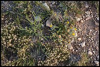 Close-up of desert floor with annual flowers. Guadalupe Mountains National Park, Texas, USA. (color)