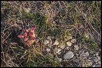 Close-up of desert floor with grasses and bloom. Guadalupe Mountains National Park ( color)