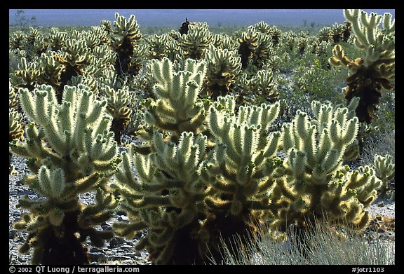 Jumping cholla cactus. Joshua Tree National Park, California, USA.