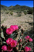Beavertail Cactus in bloom. Joshua Tree National Park, California, USA.