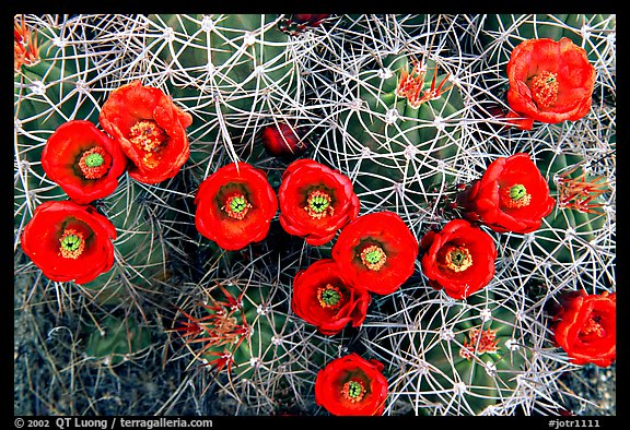 Claret Cup Cactus with flowers. Joshua Tree National Park (color)