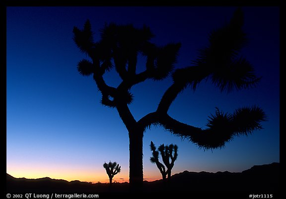 Joshua Trees silhouette at sunset. Joshua Tree National Park (color)