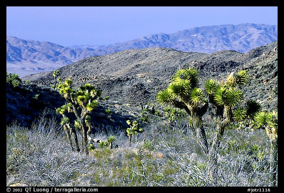 Joshua Trees and Pinto Mountains. Joshua Tree National Park (color)