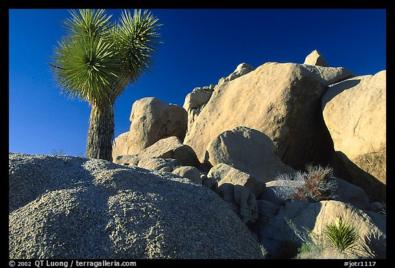 Joshua Tree and boulders. Joshua Tree National Park (color)