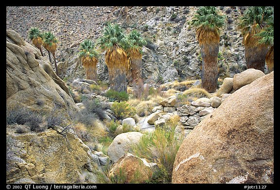 Lost Palm Oasis. Joshua Tree National Park (color)