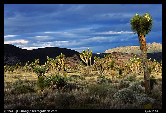Joshua tree forest near Hidden Valley. Joshua Tree National Park (color)