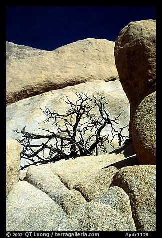 Bare bush and rocks in Hidden Valley. Joshua Tree National Park (color)
