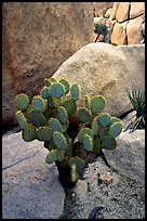 Beavertail Cactus and rocks. Joshua Tree National Park, California, USA.